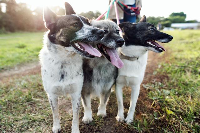 Frau führt drei Hunde aus