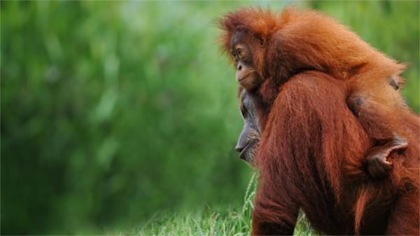 Orang Utan und Junges – sie sollen ihren Lebensraum behalten.