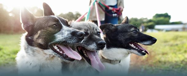 Gassigehen mit mehreren Hunden
